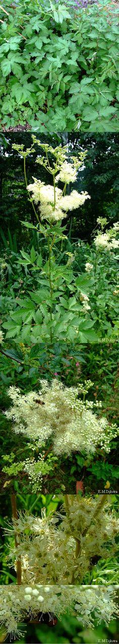 Moerasspirea (Filipendula ulmaria). Een thee van de bloemen wordt gebruikt bij griep en verkoudheid.