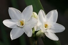The paperwhite narcissus is the December birth flower. Legend states that after Narcissus died, Apollo turned him into the flower narcissus. Paperwhites are grown from bulbs and are native to the Mediterranean. They are very fragrant flowers and are frequently given as gifts at Christmas.