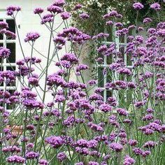 Verbena Bonariensis is a hardy, clump-forming herbaceous perennial with violet-purple flowers on tall growing stems which reach heights of up to Herbaceous Border, Herbaceous Perennials, Plants, Planting Flowers, Border Plants, Tall Purple Flowers, Perennials, Verbena, Autumn Flowering Plants