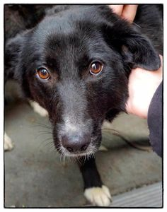 Camille is the sweetest 1 year old border collie mix! What a love! www.ruffhouserescue.org for adoption application  #ruffhouserescue #adoptdontshop #savealife #makeadifference #muttigree #bordercollie