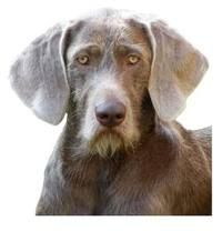 slovakian wirehaired pointer - you can just see that he barks with an accent!