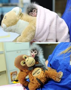 """iiiilkmays: """" Rejected monkey comforted by toys Baby spider monkey Estela is without maternal love and guidance after her mother rejected her when she was born on January Keepers at Melbourne Zoo. Cute Baby Animals, Animals And Pets, Funny Animals, Gato Animal, Primates, Tier Fotos, Cute Creatures, Funny Cute, Animals Beautiful"""