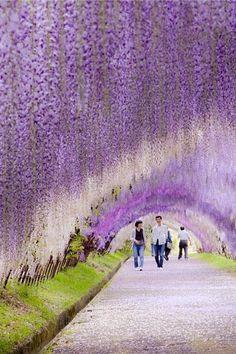 wisteria flower tunnel // japan