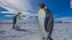 April 25 is World Penguin Day. Around the globe, penguins are at risk of extinction due to overfishing and man-made changes to their breeding grounds. Penguin Awareness Day, Penguin Day, Penguin Pictures, Penguin Species, Cnn Breaking News, Flightless Bird, Lovely Creatures, Killer Whales, Antarctica