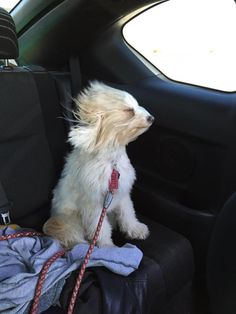 CLOUD <3 Dogs W/out Borders; LA, CA. Maltese/Tibetan terrier X about 3 1/2 yrs, 16 lbs.  Gentle, loving & can be shy w/ new people. She loves to fetch, play & just lay by your side. Perfect for an older person & a quiet, low-key household where she can just sit & gaze adoringly at her person. Loves walks & riding in the car. Housetrained, great w/ kids, but don't know about Cats. Although shy & needs time to warm up, once  comfortable is deeply loyal & a complete joy to have around