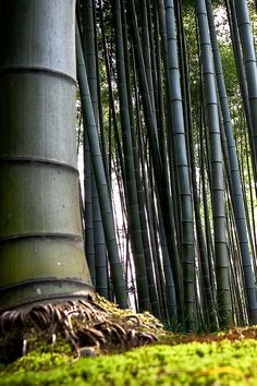 Bamboo forest. Okay, so technically these are grasses, vs. trees. (Unable to find photog info)