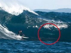 "That's not a dolphin!  ""Fergal Smith, 21, was two miles off the coast of Perth in Western Australia when he caught a monster wave but failed to spot the real sea monster lurking inside it. Fergal, of County Mayo, Ireland, only realized he was inches from the shark when photographer Phil Gallagher showed him the photo"", (story @ express.co.uk)."