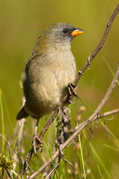 Great Pampa-Finch, Embernagra platensis platensis, adult, Ceibas, Entre Ríos Province, Argentina