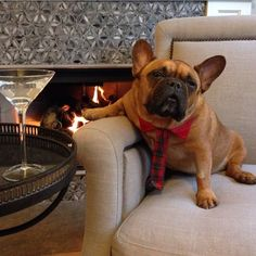 'Bonjour', the impossibly Handsome and Suave French Bulldog.