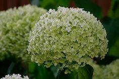 Vidjehortensia, Hydrangea arborescens 'Annabelle', är en praktfull, härdig och lättodlad hortensia med stora runda blomställningar som skiftar från grönt till vitt. Den är kompakt, bre…