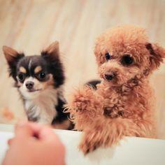 #doghuggy #doghuggyhouse #dogstagram #dogofthedayjp #ドッグハギー #犬バカ部 #いぬすたぐらむ #犬なしでは生きていけません会  #犬がいる生活 #トイプードル #トイプー #トイプードル部 #トイプードル大好キ #チワワ #チワワ部 #チワワバカ