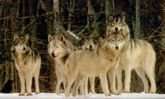 Visit WolfGifts.com for more cool wolf photos. Most Endangered Animals, Endangered Species, Wolf Photos, Wolf Pictures, Wolf Images, Beautiful Creatures, Animals Beautiful, All About Wolves, Wolf Wallpaper