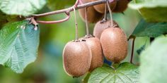 11 Foods That Grow in Totally Unexpected Ways: Cashews, Baby Corn (+Photos +Video): photo 8 Kiwi Growing, Garden Plants, Home And Garden, Photo And Video, Fruit, Planting, Gardening, Lip Makeup, Raised Beds