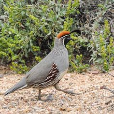 Gambel's Quail in Arizona.  See more of this gallery at: Briangengephotography.com