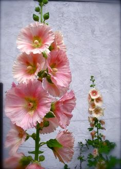 Apricot Hollyhocks, don't see these much, an old fashioned flower , great along a fence...showy!              Apricot Hollyhocks