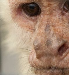 White-throated Capuchin monkeys have the most highly developed brain of the New World monkeys, and have been observed using weapons, tools, and problem-solving skills to adapt to their changing environment.