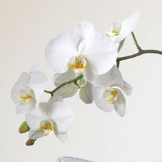 Euro Orchid Wall Decal