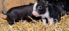 7_csm_Haengebauchschweine_Tierpark_Berlin_2016__8__1a5fbf1bdd
