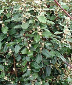 L'olivier de Bohême (eleagnus) , aux feuilles duvetées argent ... à dire vrai , je ne le trouve pas très beau , mais sa floraison automnale est aussi discrète que délicieusement parfumée ! D'intenses effluves surprennent et envoûtent quand la nature se prépare pourtant  à s'endormir