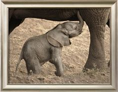 Newborn Baby Elephant Learning to Nurse Photographic Print by William Manning at Art.com