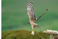 Grouse moors could hold conservation key for hen harrier recovery