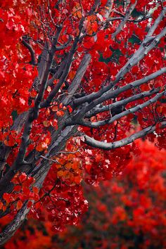 A beautiful explosion of bright red blossoms!