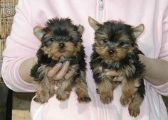 teacup dogs for free in texas | category dogs puppies yorkshire terrier yorkie location houston texas ...