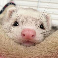 Cute Kawaii Animals, Cute Little Animals, Baby Animals, Funny Animals, Funny Ferrets, Hamsters, Ferryboat, Pet Ferret, Pets 3