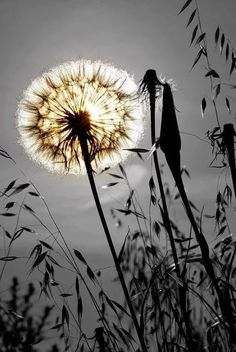 Nature - dandelion by Graziano Racchelli Pretty Pictures, Cool Photos, Amazing Photography, Nature Photography, Dandelion Wish, Jolie Photo, Pics Art, Make A Wish, Beautiful World
