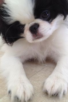 OMG! Cute Friends, Dog Friends, Japanese Chin, Pekingese, Cute Little Things, Cute Creatures, Dog Memes, Dog Training Tips, Shih Tzu