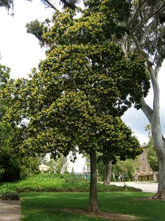 Hymenosporum flavum - Sweetshade Has Evergreen foliage Height: 20 - 35 feet Width: 15 - 20 feet Showy Fragrant Yellow Flowers in Spring or Summer Back Gardens, Outdoor Gardens, African Plants, Shade Trees, Yellow Flowers, Trees To Plant, Evergreen, Outdoor Spaces, Nativity
