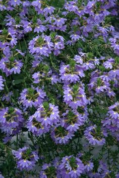 Scaevola aemula 'Blue Wonder' Planting Flowers, Flowering Plants, Flower Garden Design, Flower Seeds, Shrubs, Bloom, 1 Year, Gardens, Water