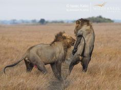 It is almost unbelievable to think that we are halfway through our Kafue season and Busanga is still rocking its lion drama. There has been lots to see, confirms Shumba guide Isaac Kalio. Primates, Mammals, Castor And Pollux, Male Lion, Quiet Moments, African Safari, Wilderness, Lions