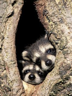 ♥♥♥♥♥ Baby raccoons in a tree/wildlife creatures sweet animal photography pictures and photos Cute Creatures, Beautiful Creatures, Animals Beautiful, Cute Baby Animals, Animals And Pets, Funny Animals, Baby Raccoon, Racoon, Tier Fotos