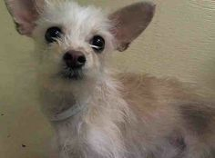 34 Best Puppy Power Images Cairn Terrier Chihuahua Mix Little Dogs