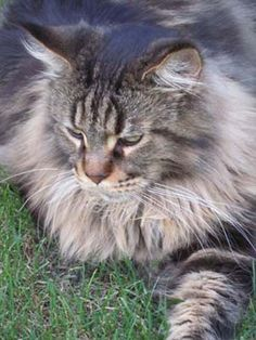 Maine Coon boy