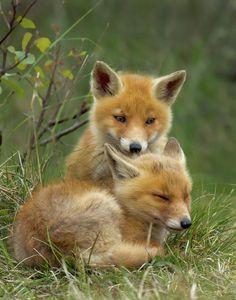 Red Fox Cub Cuddle by Menno Schaefer