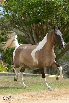 Looks like my horse :) Most Beautiful Animals, Beautiful Horses, Pretty Horses, Campolina, Horse Therapy, Appaloosa Horses, Horse Saddles, Western Saddles, Horse World