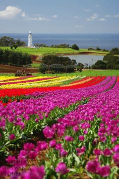 The beautiful Tulip Festival, Table Cape, Wynyard - Tasmania, Australia. Tasmania, Great Places, Places To See, Beautiful World, Beautiful Places, Beautiful Flowers, Vida Natural, Reserva Natural, Tulip Festival