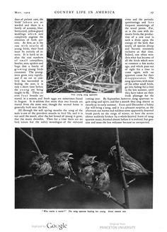 Sparrows, Country Life in America magazine, Vol. II (1902).