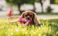 Download wallpapers Cocker Spaniel, 4k, puppy, pets, dogs, cute animals, lawn
