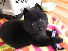 8 week old female Schipperke, No Name yet, went to three beautiful young girls as a Xmas gift.