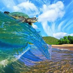 Catching a wave Check out our website to see how you can help us donate to Sea Turtle Research!  devotedtotheocean.com