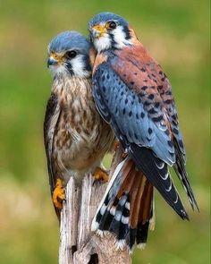 American Kestrel Pair.   Photo by:©George Rosma ➖➖➖➖➖➖➖➖➖➖➖➖➖➖➖➖  #Instagram  #beautifulday #natgeo #animals #birds #nationalgeographic #natgeowild #bird #kestrel #birdlovers #instafollowers #instanature #owl #animallovers #animalplanet #igersoftheday #discovery #instagrammer #followme #nationalgeography #instafollowme #igfollowers #instafamous #instapic #shoutouts #beautifuleyes #iger #instapicture #followalways #followus