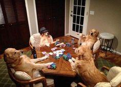 Golden Retriever Poker Night :)