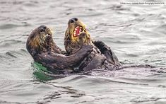"""Comedy Wildlife Photography Awards 2019 """"Sea Otter Tickle Fight"""" by Andy Harris Funny Animal Photos, Funny Photos, Funny Animals, Funniest Photos, Animal Pictures, Comedy Wildlife Photography, Photography Awards, Improve Photography, Wild Life"""