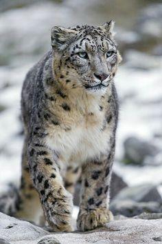 Snow leopard                                                                                                                                                                                 More                                                                                                                                                                                 More