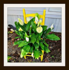 Puppy Paths: More Yellow Chair!! This is my yellow chair and peace lily!  Thanks Steve!