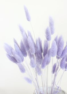 Flowers Discover Dried Bunny Tail in Lavender The perfect addition to your dried flower centerpieces and bouquets beautiful lavenderbunny tails give your floral designs soft texture and color. Lavender Purple Tall Long x Wide Blooms Stems Dried Purple Flowers Wallpaper, Purple Wallpaper Iphone, Aesthetic Iphone Wallpaper, Aesthetic Wallpapers, Lavender Aesthetic, Flower Aesthetic, Blue Aesthetic, Purple Aesthetic Background, Aesthetic Drawing