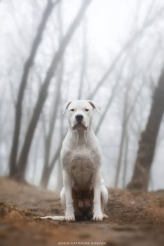 Dogo Argentino by Katarina Drezga.